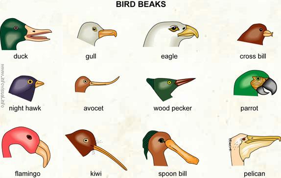 060 Bird beak